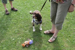 ball scurry 2nd place spaniel ruby